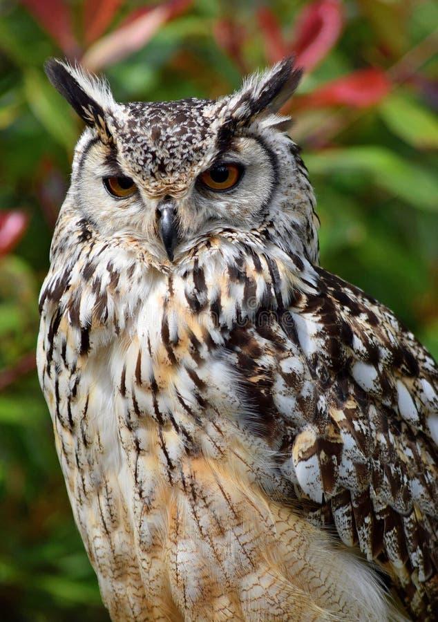 Bengalen Eagle Owl stock afbeelding