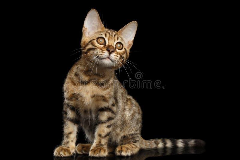 Bengalen Kitty Sitting en het Nieuwsgierige Kijken isoleerde omhoog Zwarte Achtergrond stock foto's