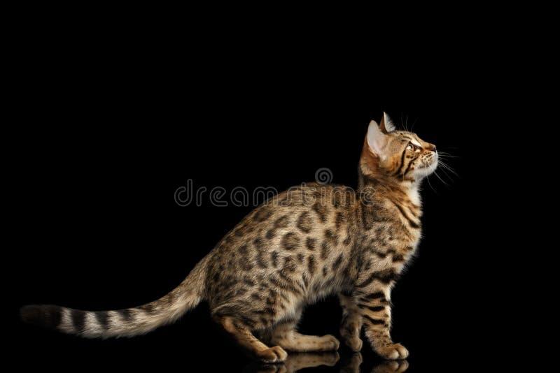 Bengalen Kitty Sitting en het Nieuwsgierige Kijken isoleerde omhoog Zwarte Achtergrond royalty-vrije stock afbeelding