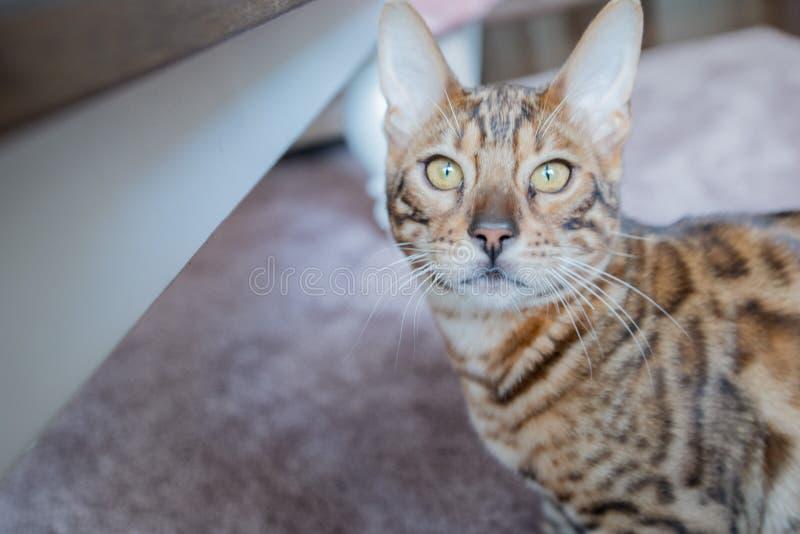 Bengalen met gouden ogen die camera onderzoeken stock afbeeldingen