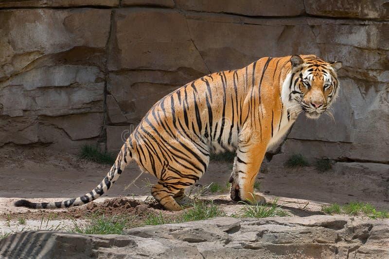 Bengalen Tiger Peeing stock foto's