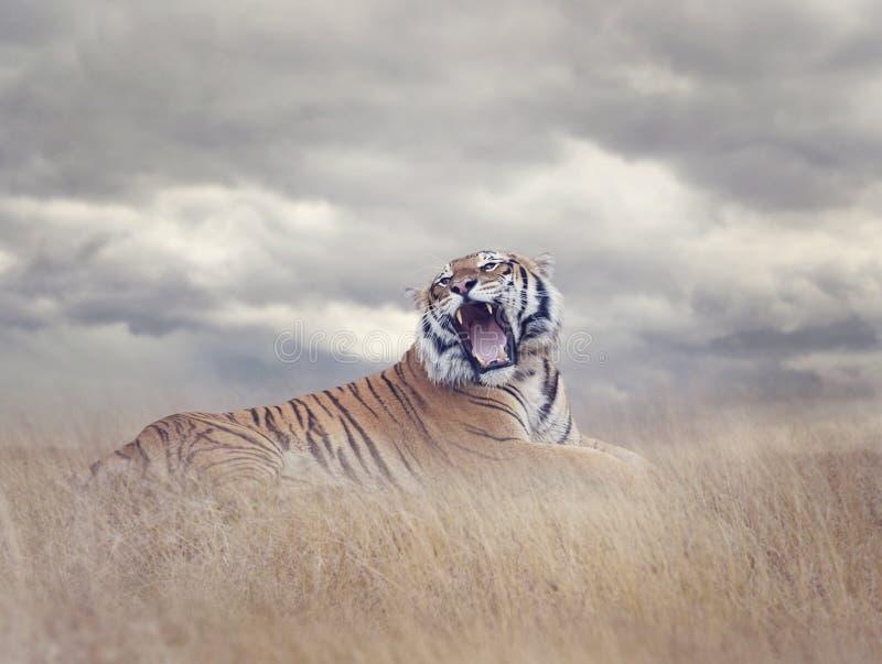 Bengalen Tiger Roaring stock afbeelding