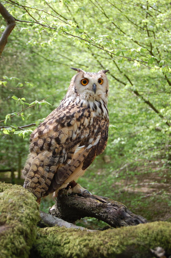 Bengalensis du Bengale Eagle Owl Bubo image stock