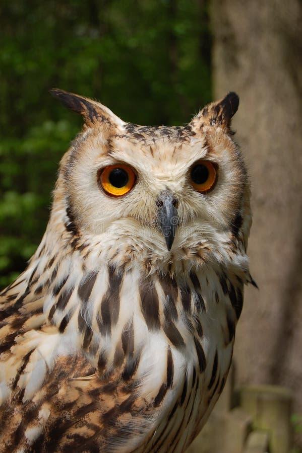 Bengalensis du Bengale Eagle Owl Bubo photographie stock