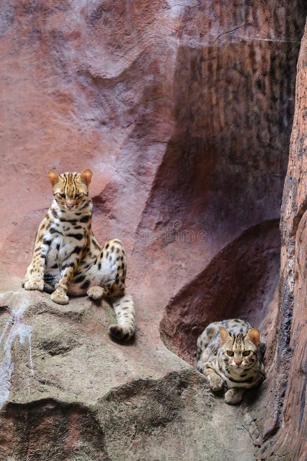 Bengalensis van Prionailurus van de luipaardkat royalty-vrije stock afbeelding