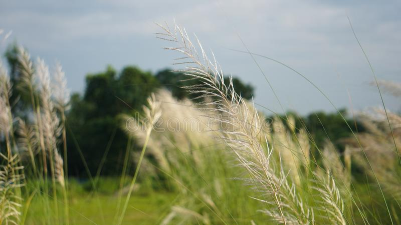 Bengali: Kashful. Common name: Wild sugarcane. Botanical name: Saccharum spontaneum. Kans Grass, locally known as Kashful are seen royalty free stock photography