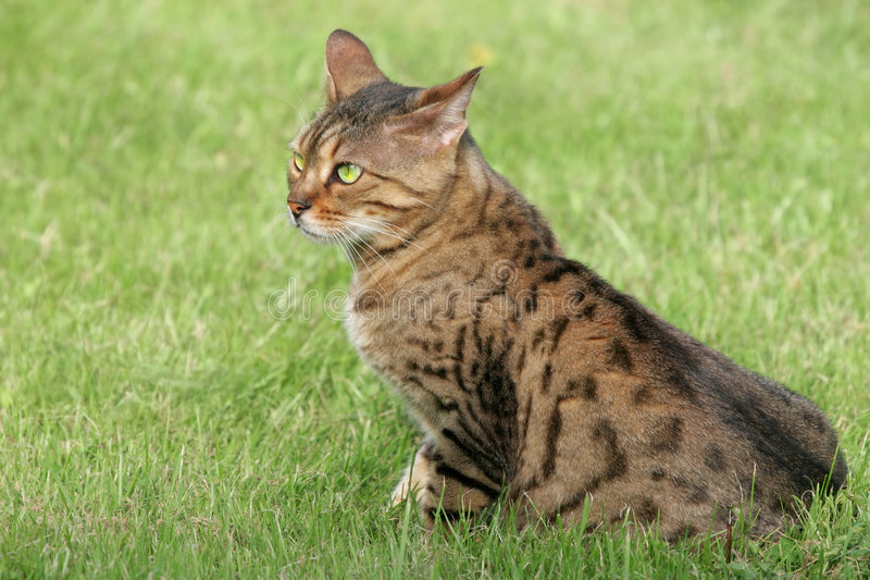 Bengali Special Breed Cat. With green eyes, sitting on the grass stock photos