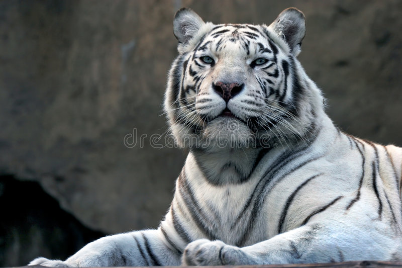Bengali Tiger In Zoo Royalty Free Stock Photos