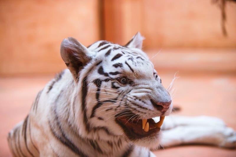 Bengali vit tunga för tigernärbildshower, aggressively som är kall och som är gladlynt arkivfoto