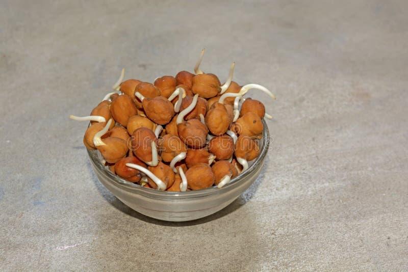 Bengalia gram lub czarni chickpeas kiełkujemy na pucharze z szarym tłem obrazy stock