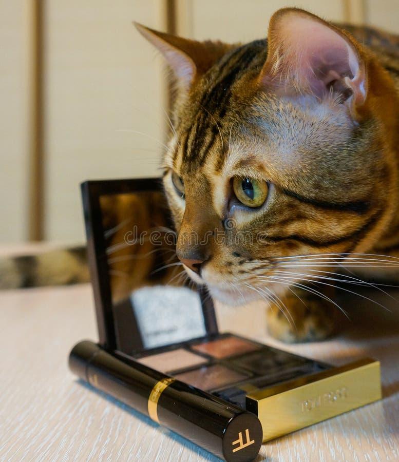 Bengalia kot blisko kosmetycznej palety i muśnięcia zdjęcie royalty free