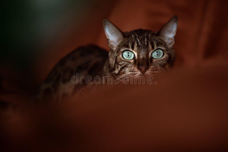 Bengalia kot z dzikimi instynktami w domowym wnętrzu zdjęcia royalty free
