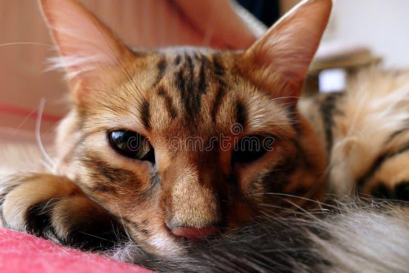 Bengalia kot: Zrelaksowany Bengal kota zakończenie w górę patrzeć w kamerę zdjęcie stock