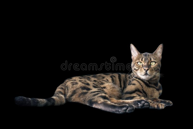 Bengalia kota łgarski puszek i patrzeć kamerę fotografia stock