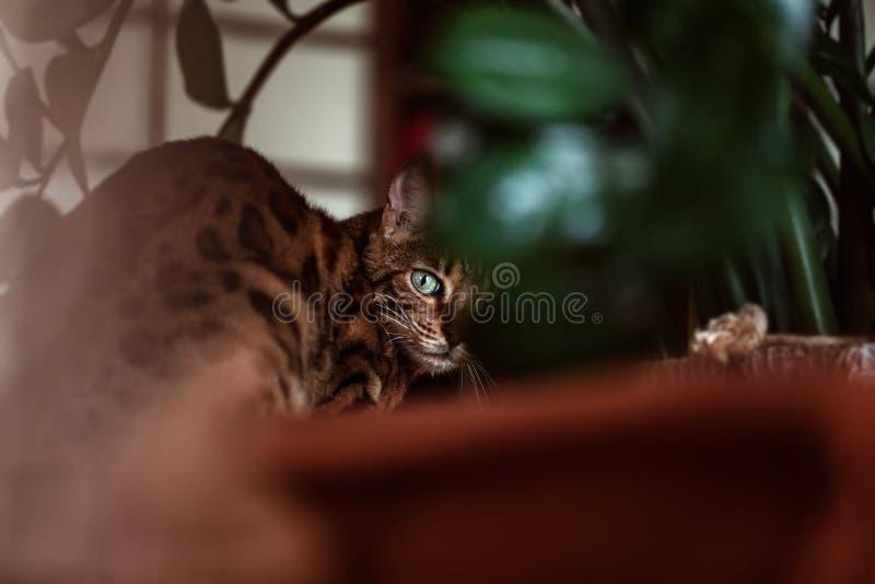 Bengalia kota pozować wokoło domu Bengalia kota portret obrazy stock