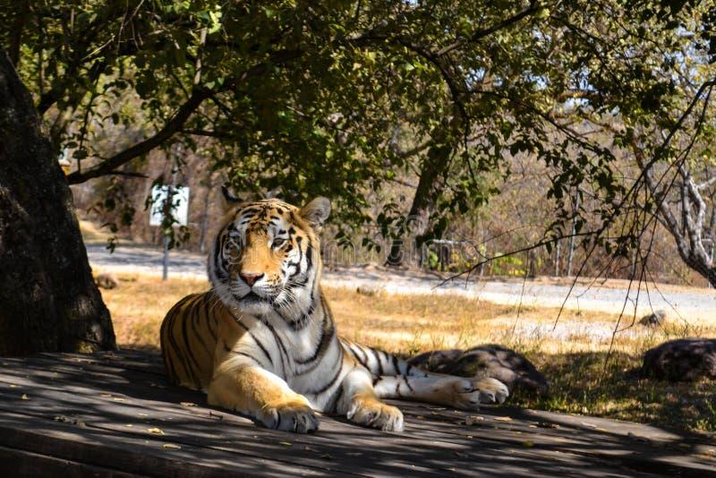 Bengalia tygrys odpoczywa w rezerwacie przyrody fotografia royalty free