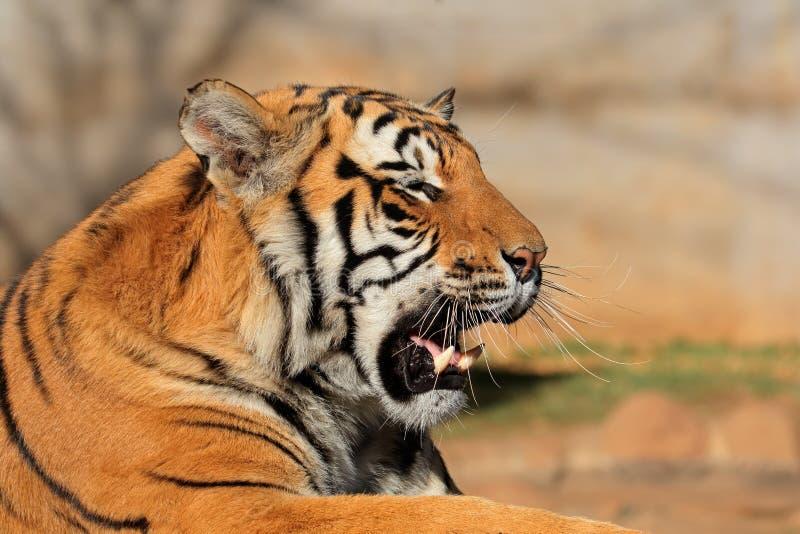 Bengalia tygrysa portret - India obrazy stock