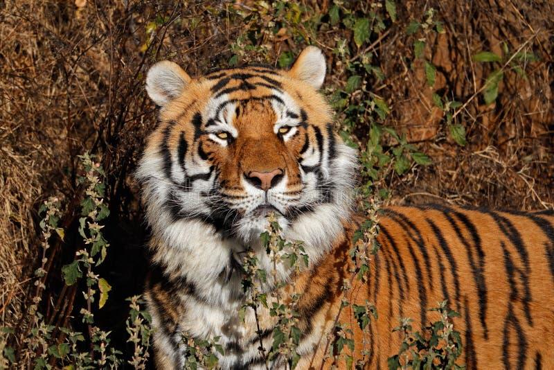 Bengalia tygrysa portret - India zdjęcia royalty free