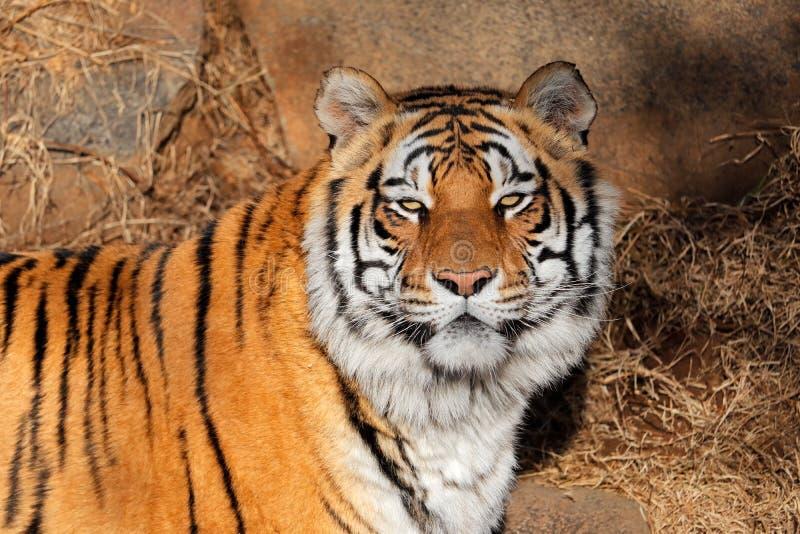 Bengalia tygrysa portret - India obraz royalty free