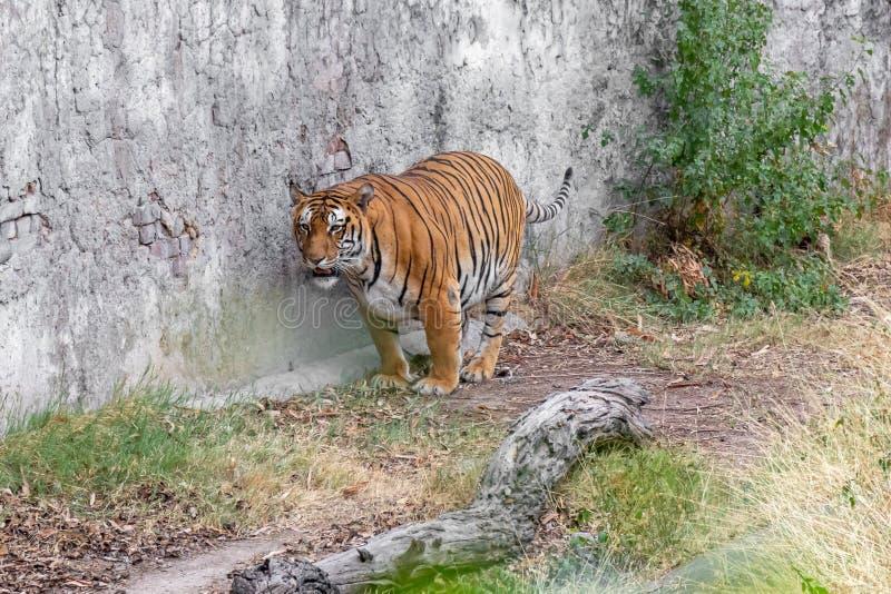 Bengalia tygrysa pozycja z ścianą w zoo zdjęcie stock