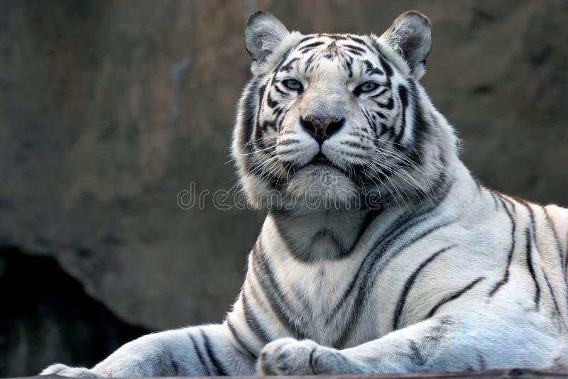 Bengalitiger im Zoo lizenzfreie stockfotos