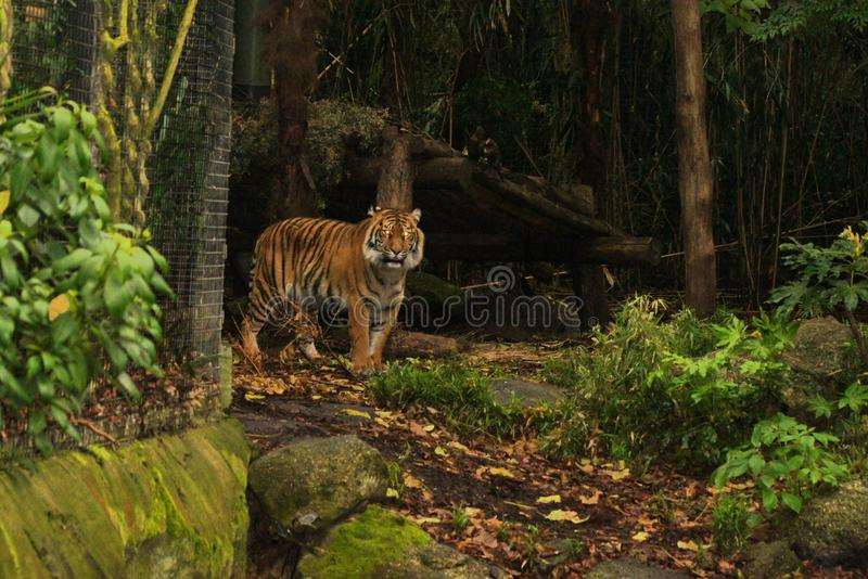 Bengall tiger arkivfoton
