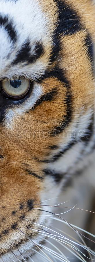 ` Bengals Tiger Stalking Its Opfer stockfoto