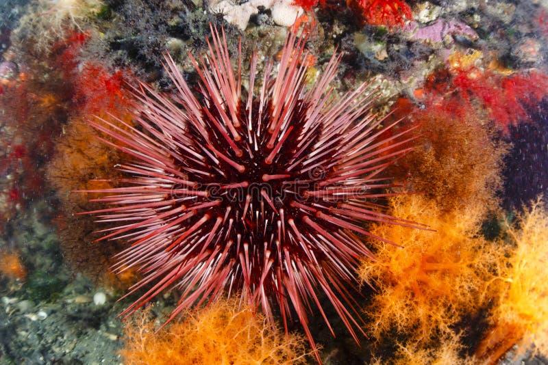 Bengel des Roten Meers stockfotografie