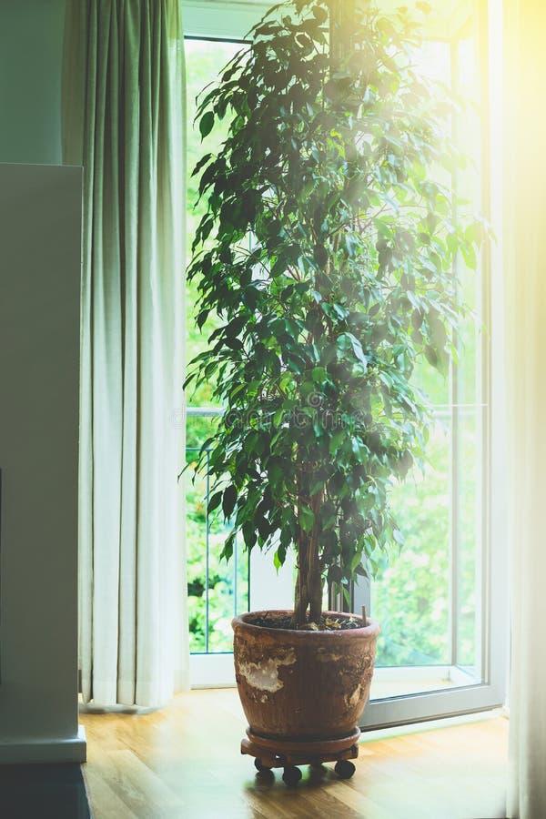 Benjamina ficus drzewo w starym terakotowym garnku w żywym pokoju przy dużym okno z światłem słonecznym Domowy projekt zdjęcie stock