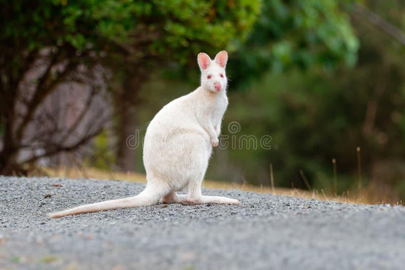 BennettÂ的鼠-大袋鼠属rufogriseus,也red-necked鼠,中型macropod有袋动物,共同在澳大利亚东部, 免版税库存图片