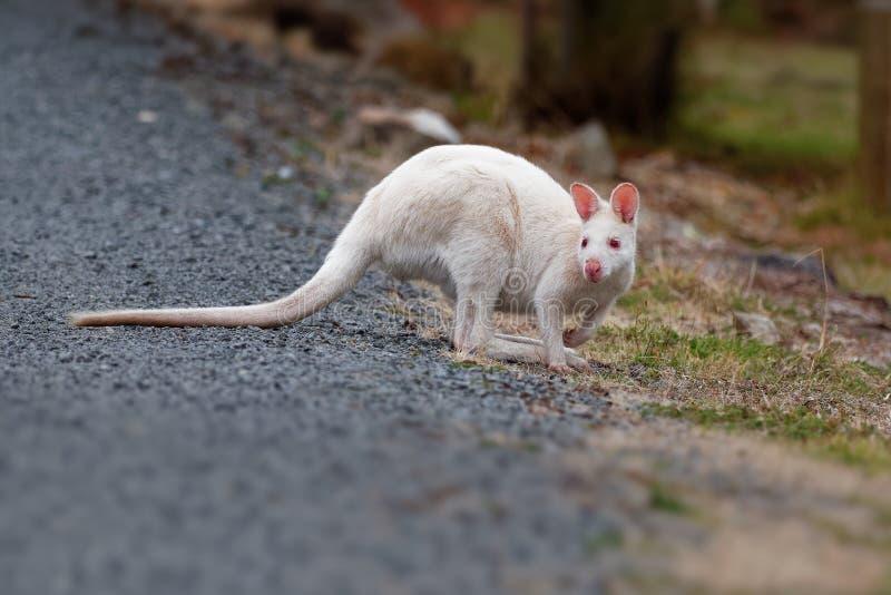 BennettÂ的鼠-大袋鼠属rufogriseus,也red-necked鼠,中型macropod有袋动物,共同在澳大利亚东部, 库存照片