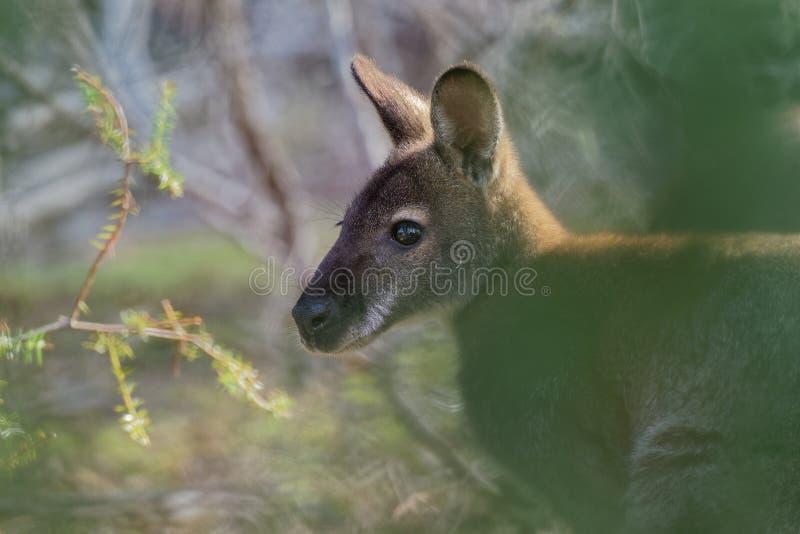BennettÂ的鼠-大袋鼠属rufogriseus,也red-necked鼠,中型macropod有袋动物,共同在澳大利亚东部, 免版税库存照片