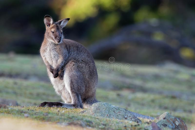 BennettÂ的鼠-大袋鼠属rufogriseus,也red-necked鼠,中型macropod有袋动物,共同在澳大利亚东部, 图库摄影