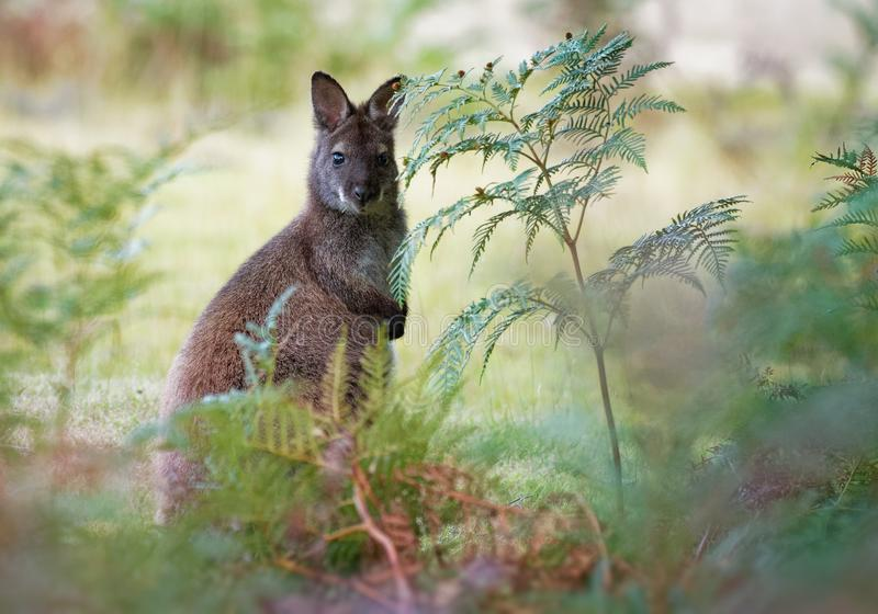 Bennett`s wallaby - Macropus rufogriseus, also red-necked wallaby, medium-sized macropod marsupial, common in eastern Australia,. Tasmania, introduced to New royalty free stock photography