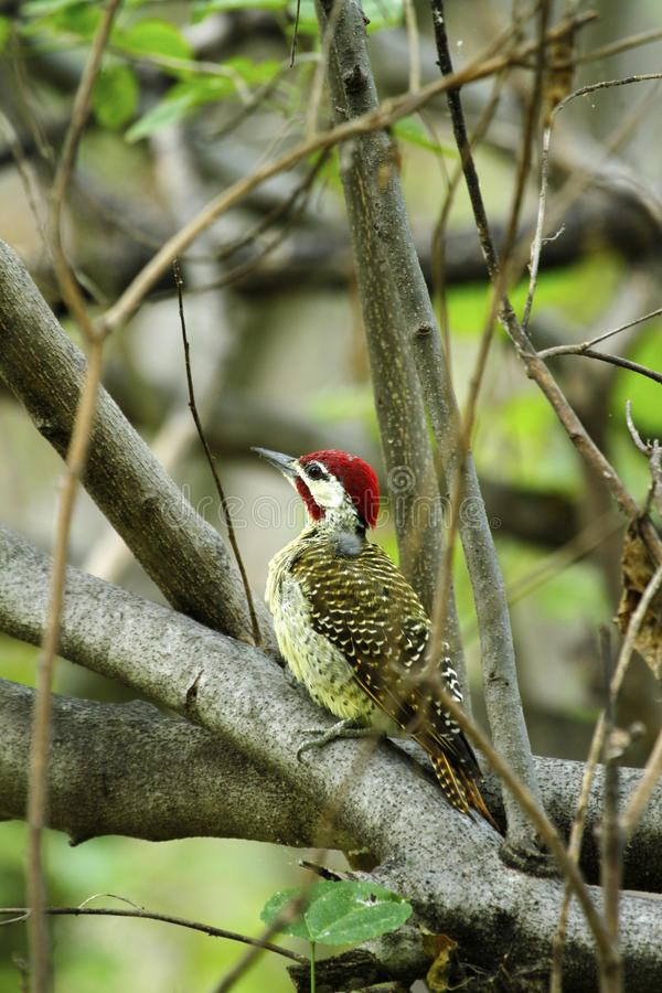 Bennett's Woodpecker. Bennett's Woodpecker, common resident in South Africa stock photos