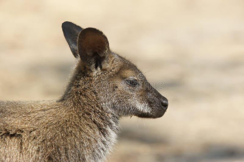 Bennett Wallaby, Austrália fotos de stock