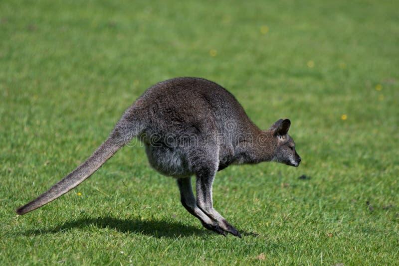 Bennett Wallaby, nativo da costa leste de Austrália e de Tasmânia, chamou às vezes o ualabi de pescoço encarnado foto de stock royalty free