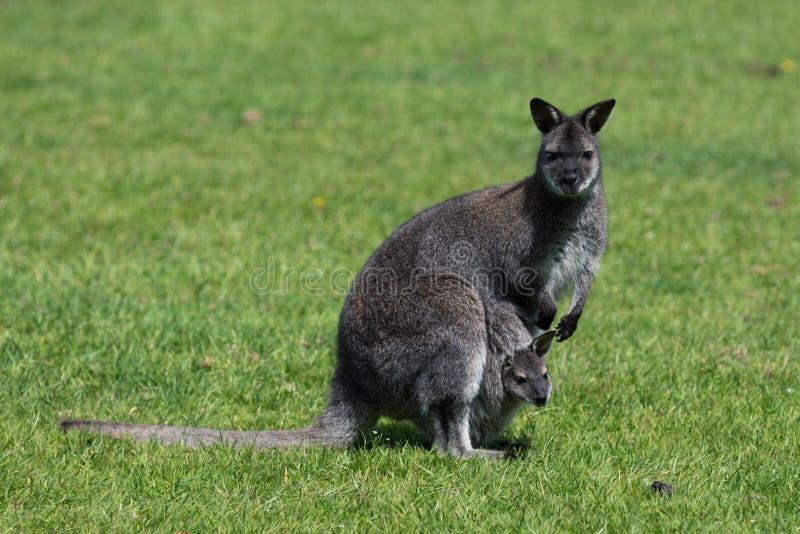 Bennett Wallaby, nativo da costa leste de Austrália e de Tasmânia, chamou às vezes o ualabi de pescoço encarnado fotografia de stock royalty free