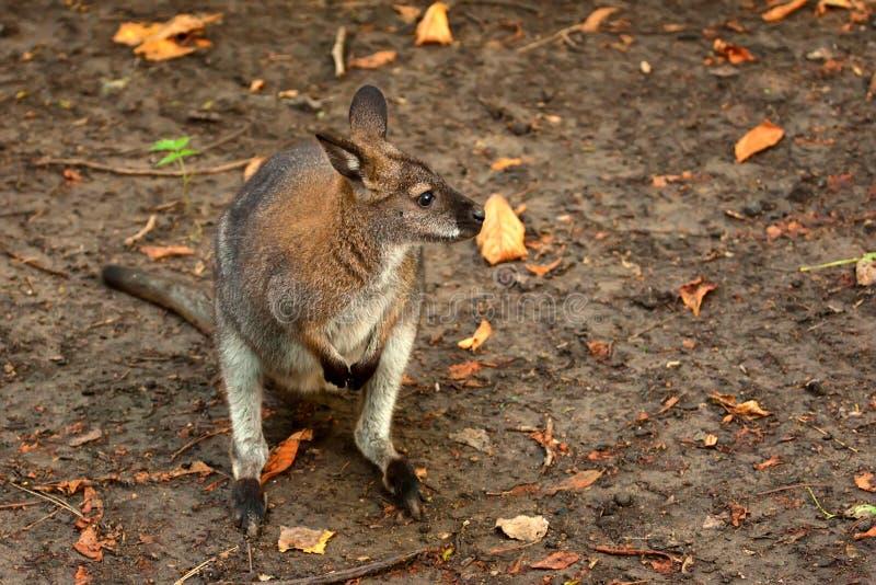 Bennetts träd-känguru (Dendrolagusbennettianusen) arkivfoto