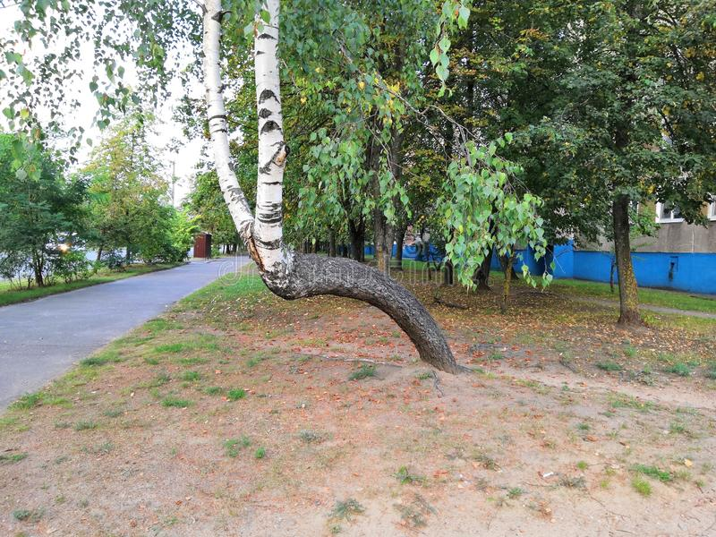 Curved birch. Bent birch within the city limits stock image