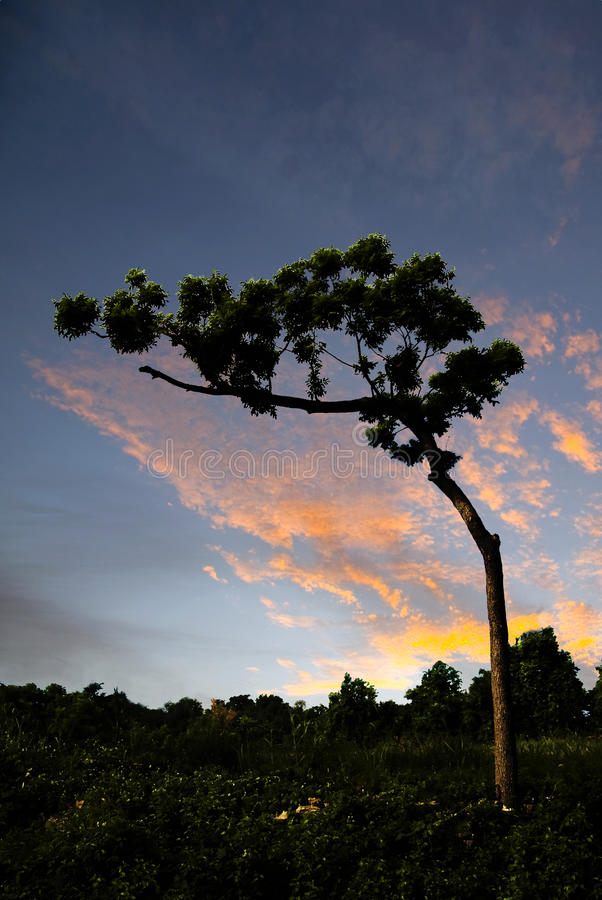 Bent Pecan Tree. Life for this Pecan tree has been difficult royalty free stock images