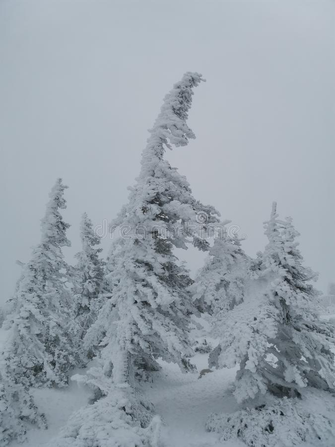 Bent snow-covered firs on top of a mountain in the Urals stock photography