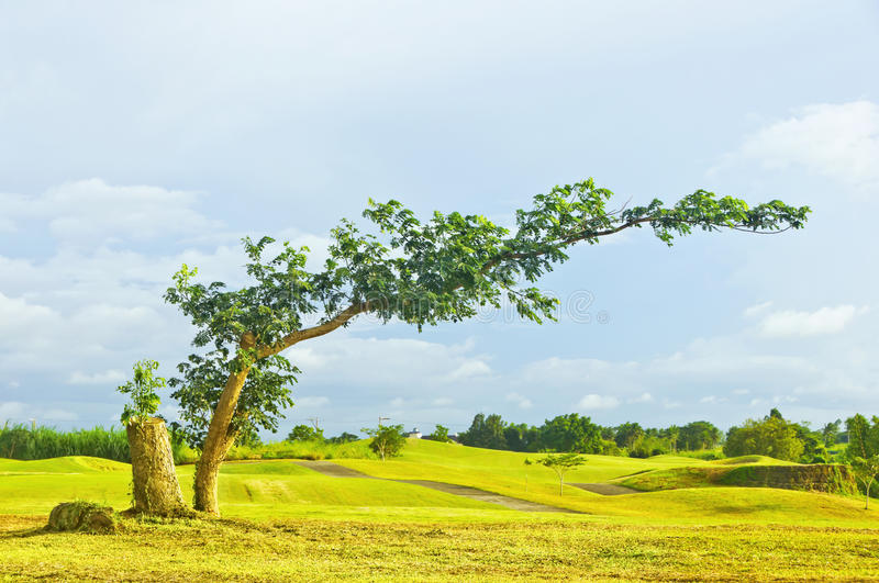 Download Bent Tree stock photo. Image of golf, grass, leaning - 17502424