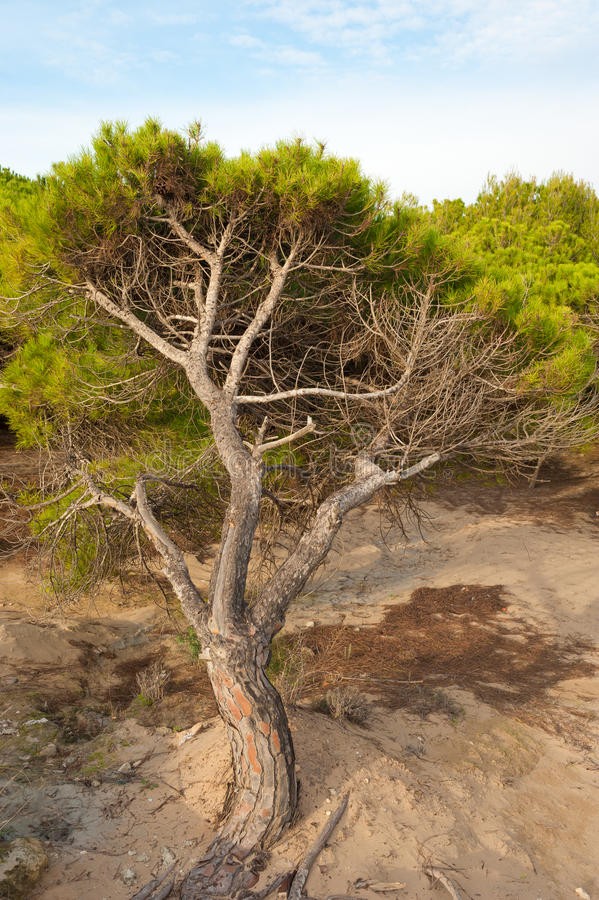 Download Bent trees stock photo. Image of windswept, dune, trees - 22070922