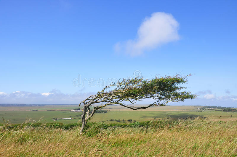 Bent and windswept Tree Shaped by Constant Wind stock photo