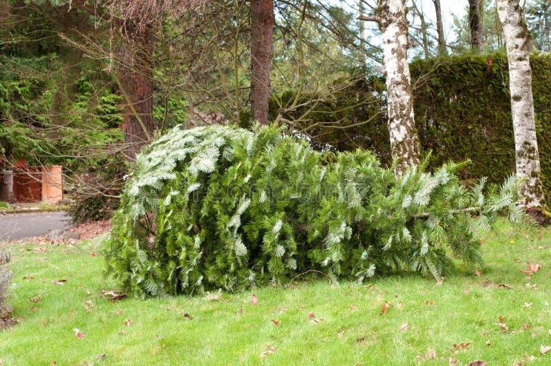 Benutzter Weihnachtsbaum im Yard für die Wiederverwertung stockbild