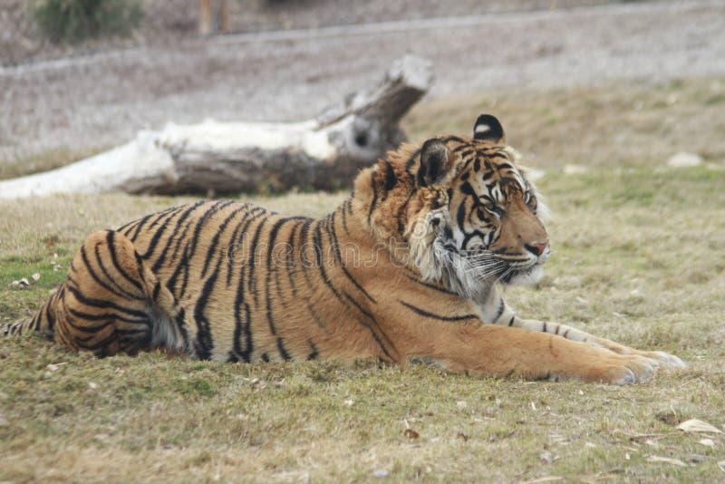 Beobachtender sibirischer Tiger im Phoenix-Zoo stockbild
