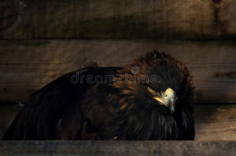 Beperking van vrijheidsconcept: Gouden Eagle Aquila-chrysaetos in gevangenschap stock foto