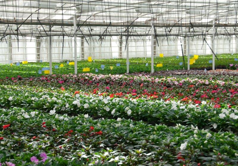 Berçário da flor. Estufa com plantas cultivadas. imagens de stock