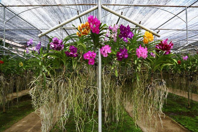Berçário das orquídeas em Chiang Mai, Tailândia fotos de stock royalty free